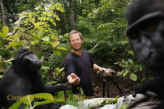 SULAWESI or CRESTED BLACK MACAQUE (Macaca nigra).  Sulawesi, Indonesia. Credit: David J Slater