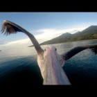 Video thumbnail for youtube video Learn To Fly With A Pelican