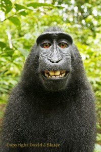 Sulawesi or Crested Black Macaque (Macaca Nigra). Credit: David J Slater