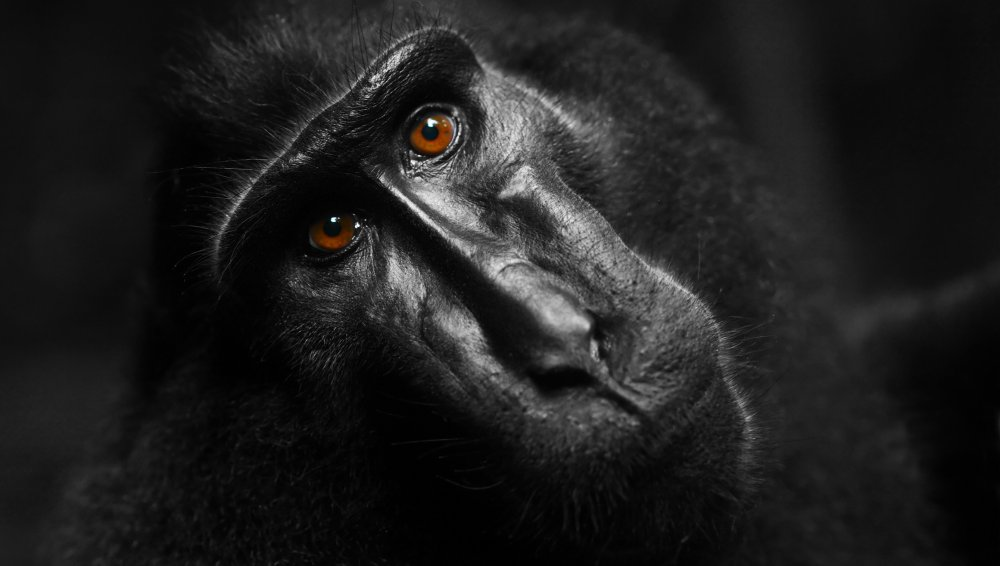 Celebes crested macaque (Macaca nigra) looking to a camera. (Stock Photo)